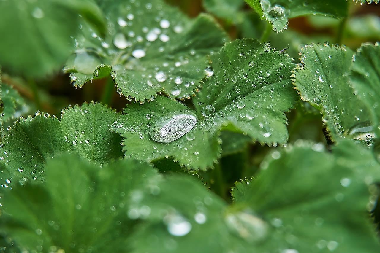 Les incroyables vertus santé de la verveine odorante