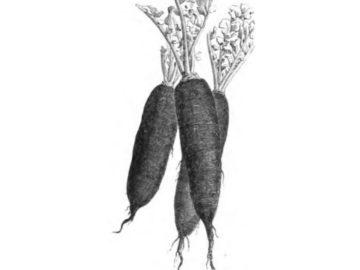 radis-noir-detox