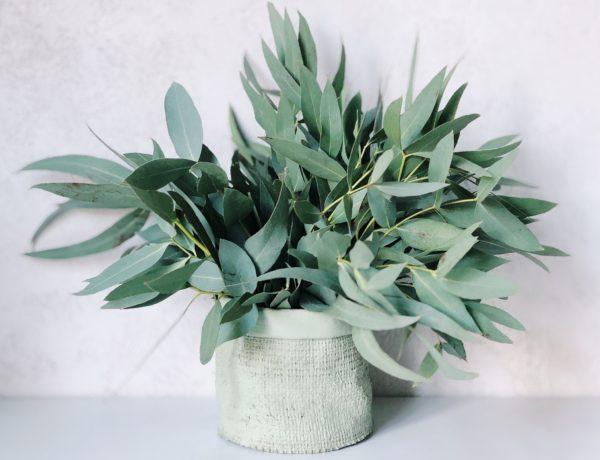 Les bienfaits de l'eucalyptus